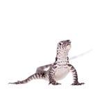Timor Monitor Lizard, Varanus timorensis, on white Stock Image