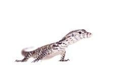 Timor Monitor Lizard, Varanus timorensis, on white Royalty Free Stock Image