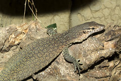 Timor Monitor,Varanus timorensis,  small endemic lives on the island of Timor Royalty Free Stock Photos