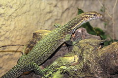 Timor monitor Royalty Free Stock Images