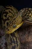 Timor python Royalty Free Stock Image