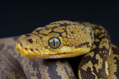 Timor python. The Timor python,Python timoriensis, is a dwarf python species found in South East Asia Royalty Free Stock Images