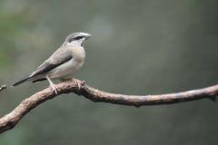 Timor sparrow Stock Photos
