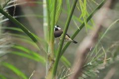 Timor sparrow Stock Image