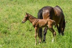 Timorous foal standing behind mom`s back. On a spring pasture stock photos