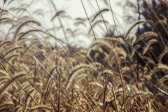 Timothy Grass Blowing in de Wind stock foto