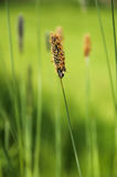 Timothy grass Royalty Free Stock Photos