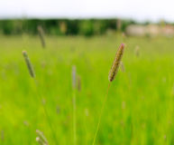 Timothy grass Royalty Free Stock Photography