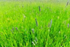 Timothy grass Stock Image
