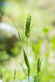Timothy grass Stock Photo