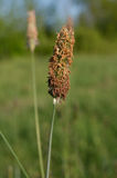 Timothy grass (Phleum pratensis) Royalty Free Stock Images