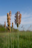 Timothy grass (Phleum pratensis) Royalty Free Stock Photos