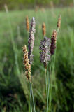 Timothy grass (Phleum pratensis) Stock Photos