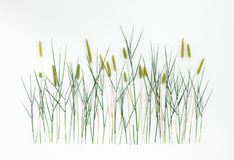 Timothy grass on white background royalty free stock photography