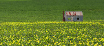 Tin shack in fields of green and gold Stock Photo