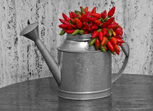 Tin waterer and hot peppers. Composite image of a tin waterer with red hot peppers Stock Image