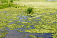 Tina and algae on lake, river, pond. Water bloom. Overgrown water surface