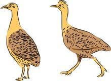 Tinamou鸟 免版税库存照片