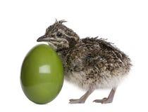 Tinamou com crista elegante e ovo, 10 horas velho Imagens de Stock Royalty Free