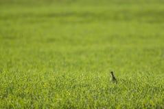 Tinamou, La Pampa,. Tinamou on grass La Pampa, Argentinann Stock Photo