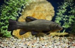 Tinca tinca, Doctor fish, the tench Royalty Free Stock Photos