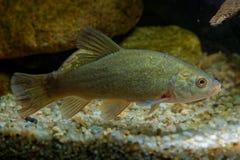 Tinca van Tinca van artsenvissen onder water wordt gevangen dat Zeelten met bruine bladeren op de bodem en de donkergroene achter royalty-vrije stock afbeeldingen