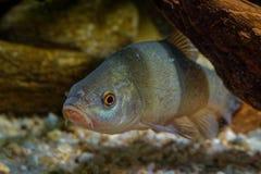Tinca van Tinca van artsenvissen onder water wordt gevangen dat Zeelten met bruine bladeren op de bodem en de donkergroene achter stock fotografie