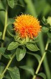 Tinctorius de Carthamus dans la fleur Photographie stock