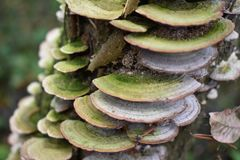 Tinder flat-cosmopolitan fungus, but its distribution is confined for the most part to the temperate forests of the Northern hemis. Phere.Polypore flat contains stock photo