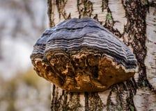 Tinder Fungus Royalty Free Stock Image