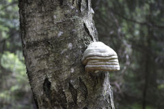 Tinder fungus on a birch trunk in a forest.Beautiful and interes Stock Photo