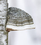 Tinder fungus and birch. In winter time Stock Photography