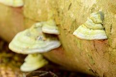 Tinder fungus Royalty Free Stock Photography