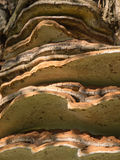 Tinder fungus or hoof fungus Royalty Free Stock Photo