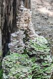 The tinder fungus Royalty Free Stock Images