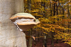 Tinder fungus mushroom on a tree trunk Royalty Free Stock Photo