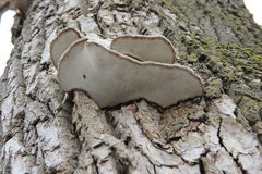 Tinder fungus on a tree. Landscape with mushroom tinder fungus affecting the tree Stock Photo