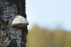 Tinder fungus on tree Stock Photography