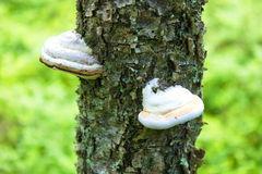 Tinder fungus on tree in nature Stock Image
