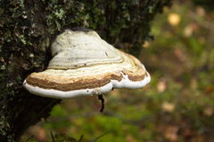 Tinder fungus on tree in nature Stock Photography