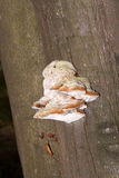 Tinder fungus on tree trunk Stock Photos