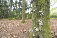 Tinder fungus on tree trunk Stock Photography