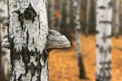 Tinder mushroom on birch royalty free stock images