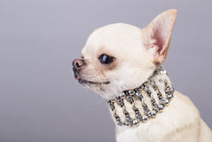 Tine chihuahua Royalty Free Stock Images
