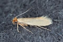 Free Tineola Bisselliella Known As The Common Clothes Moth, Webbing Clothes Moth, Or Simply Clothing Moth. It Is A Pest Of Clothing In Stock Photography - 209934592