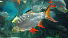 Tinfoil Barb fish. Tinfoil Barb is a freshwater tropical fish species. Latin name - Barbonymus schwanenfeldll stock photos