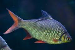 Tinfoil barb (Barbonymus schwanenfeldii). Stock Images