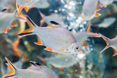 Tinfoil barb fish, fresh water fish in Thailand Royalty Free Stock Images