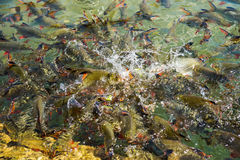 Tinfoil barb fishes in the water Stock Images