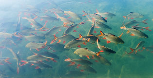 Tinfoil barb fishes in the water Stock Photos